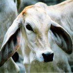 Cow-638px-Brahman_Baby